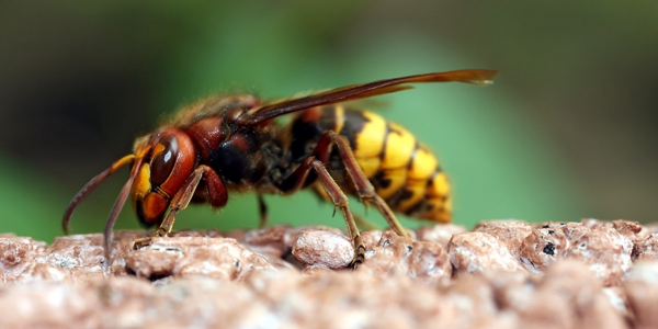residential pest control - yellowjackets